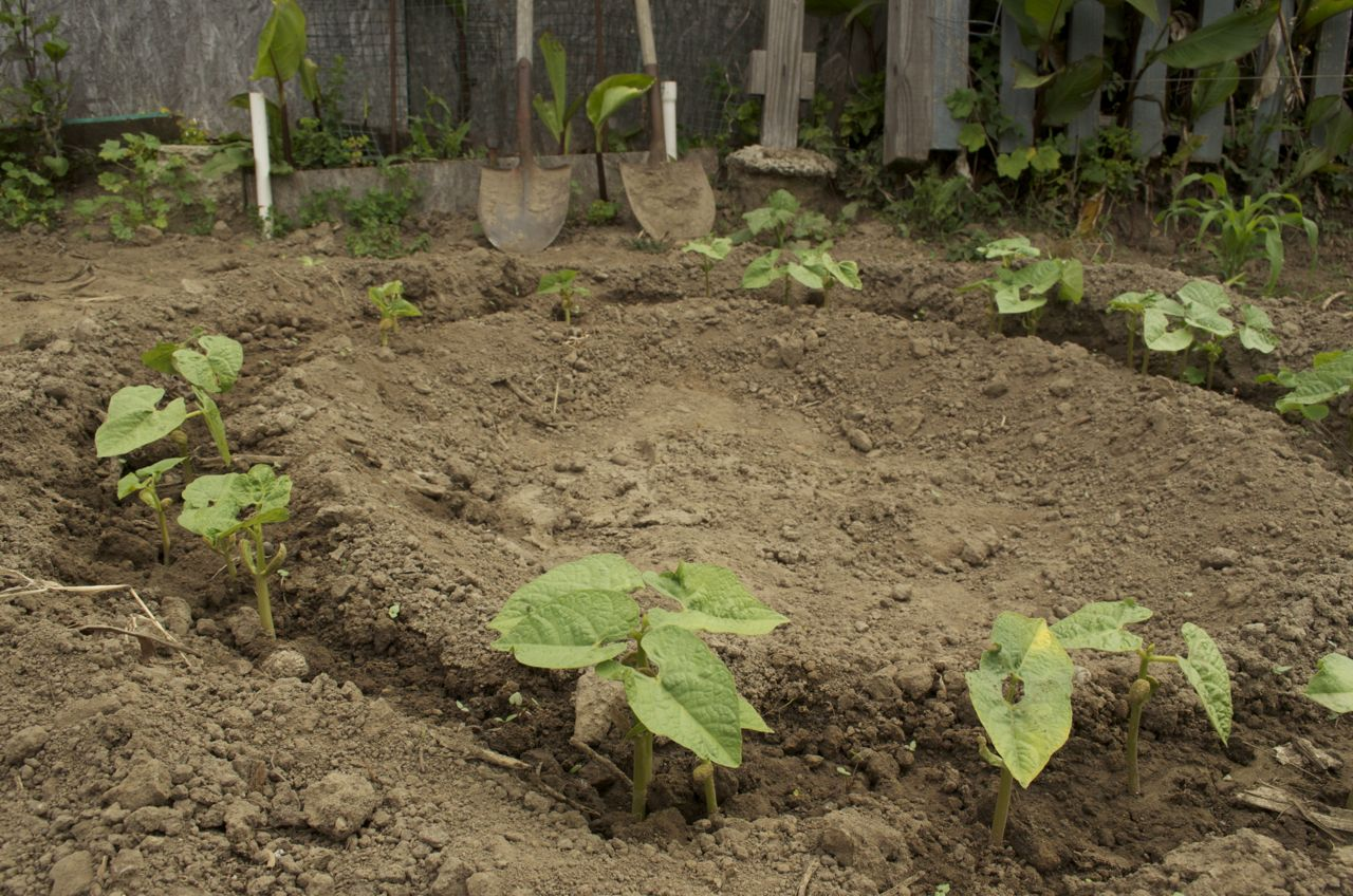 beans | Beach Flats Community Garden | Page 2
