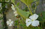 gourd flower