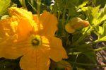 squash flower