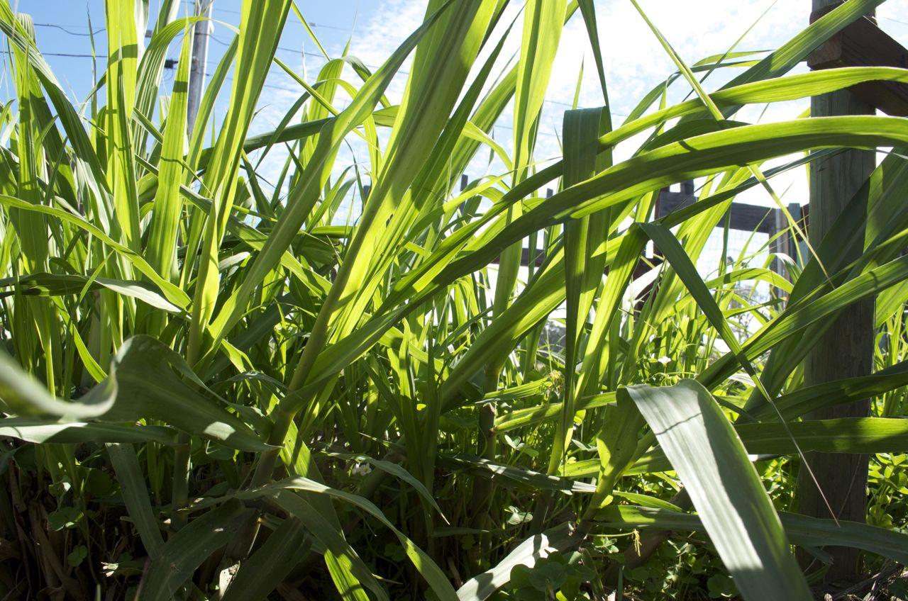 Sugar cane plant beach flats community garden for Planting a garden