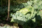 Overgrown cabbage