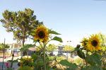 Miriam's Sunflowers