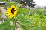 Domingo's sunflower