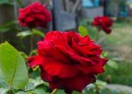 Stunning roses tucked in the back corner