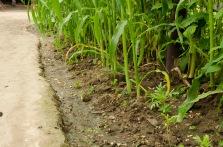 Freshly Watered Corn